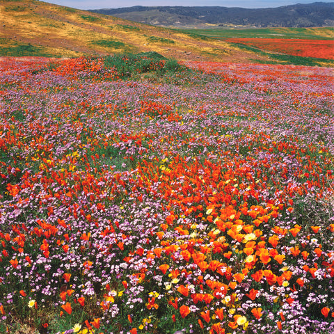 field of wildflowers, orange California poppies, purple and white bird's-eye-gilia in Antelope Valley California Poppy Reserve