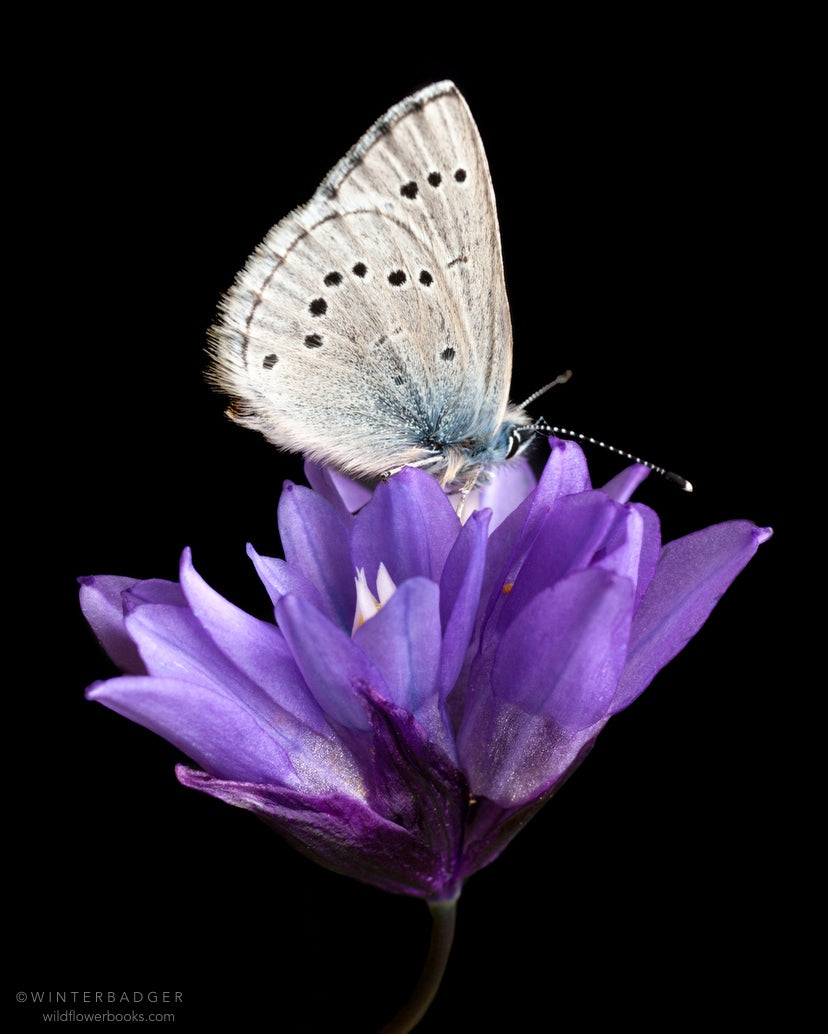 gray spotted butterfly with closed wings on top of a cluster of purple wildflowers called blue dicks, against a black background.