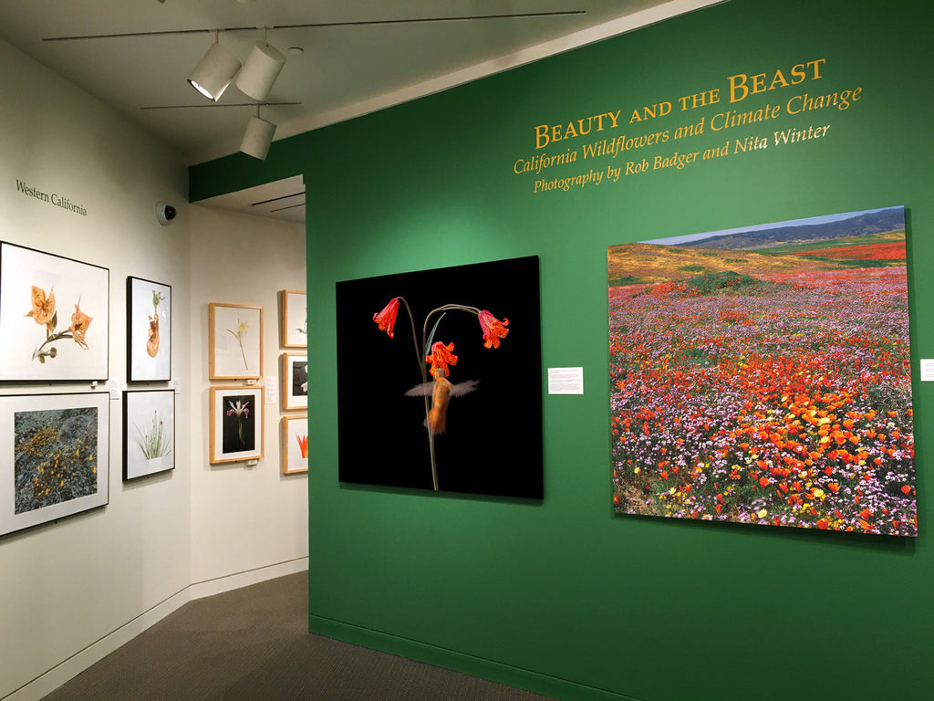 Beauty and the Beast: California wildflowers and Climate Change original exhibit at the Jewett Gallery at the San Francisco Main Public Library