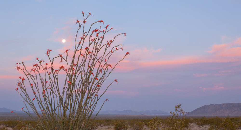 Flowering Ocotillo in Joshua Tree National Park, California