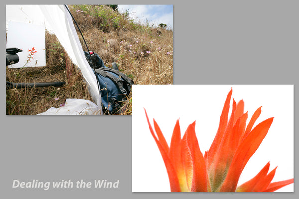 Set up with wind break to photograph Indian paintbrush wildflower tip