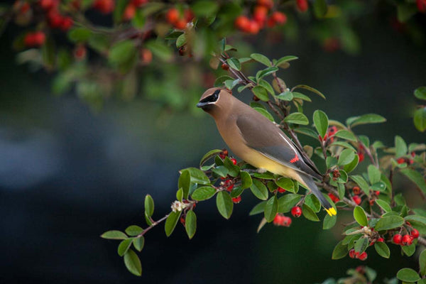 Cedar Wax Wing feeding on Cotoneaster berries outside photographers' bedroom