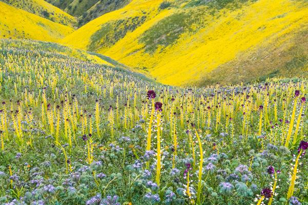 """A dazzling carpet of desert candle (Caulanthus inflatus), lacy phacelia (Phacelia tanacetifolia), and hillside daisy (Monolopia lanceolata) carpeted Carrizo Plain National Monument in San Luis Obispo County in a wildflower """"Super Bloom"""" following winter rains in 2017. Photo: Rob Badger & Nita Winter"""