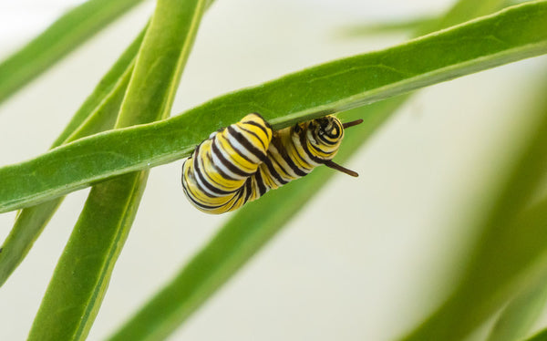Monarch butterfly caterpillar on narrow leafed milkweed in photographers' native plant garden