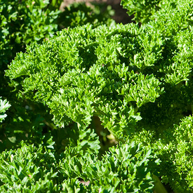 Potted Parsley - Curly Leaf