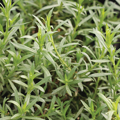 Potted Tarragon