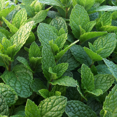 Potted Mint - Spearmint