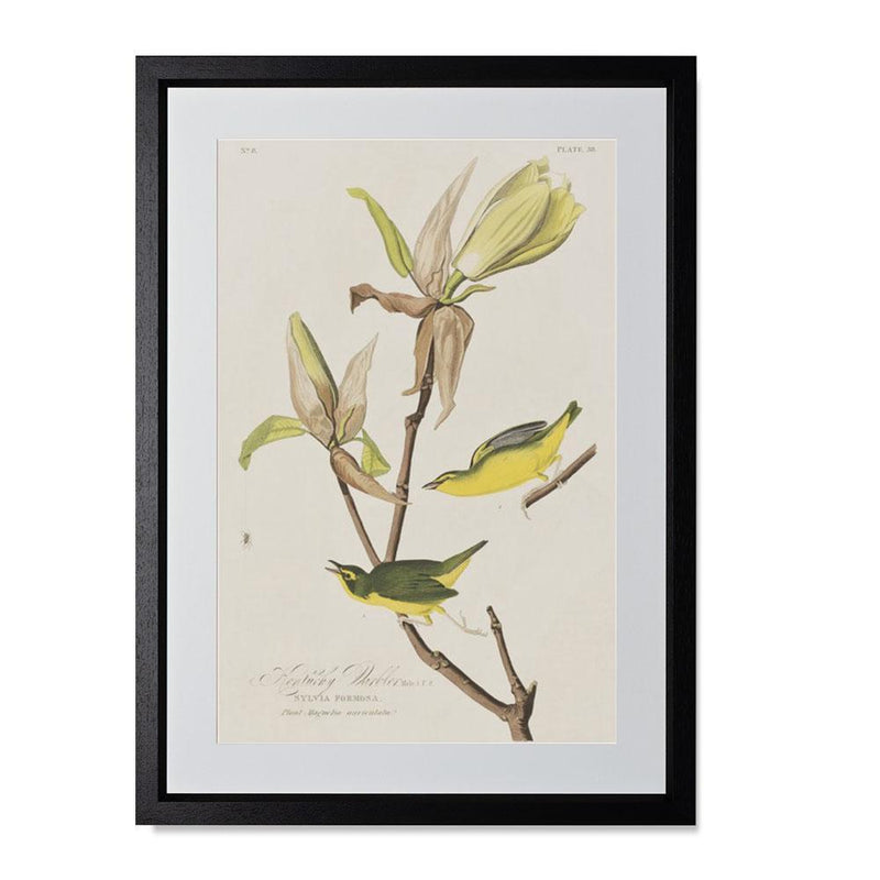 "Kentucky Warbler Smith & Co Galleries 14"" x 20"" Black 5mm Luxe Floated - Strivezy"