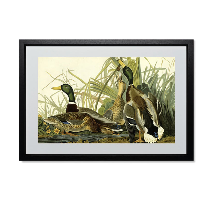 "Mallard Duck Smith & Co Galleries 20"" x 14"" Black 5mm Luxe Floated - Strivezy"