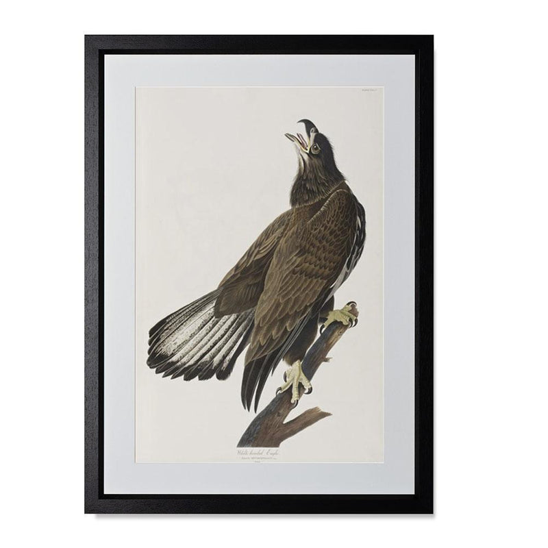 "White-headed Eagle Smith & Co Galleries 14"" x 20"" Black 5mm Luxe Floated - Strivezy"