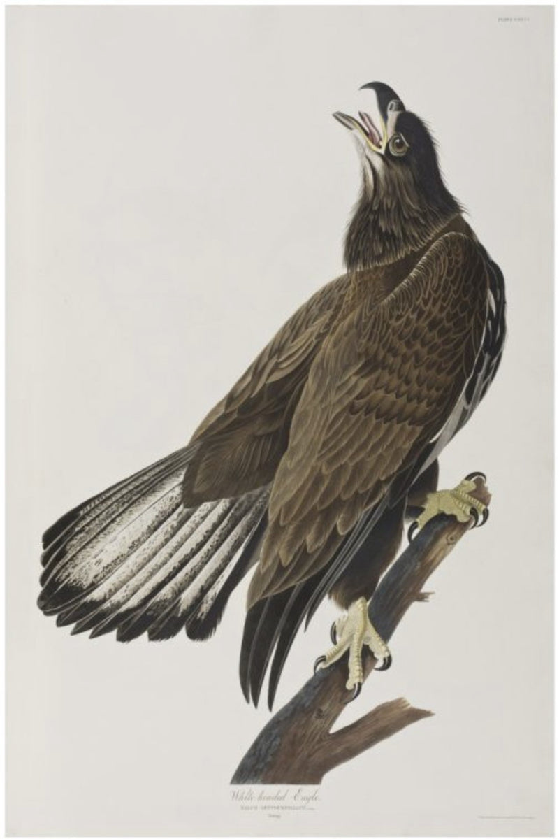 White-headed Eagle Smith & Co Galleries - Strivezy