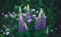 lupine flowers to grow in june