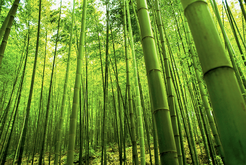 Amazing Facts about Bamboo - MANHOGANY