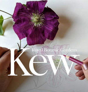 Drawing a Clematis: Step by Step Guide, (Downloadable PDF)