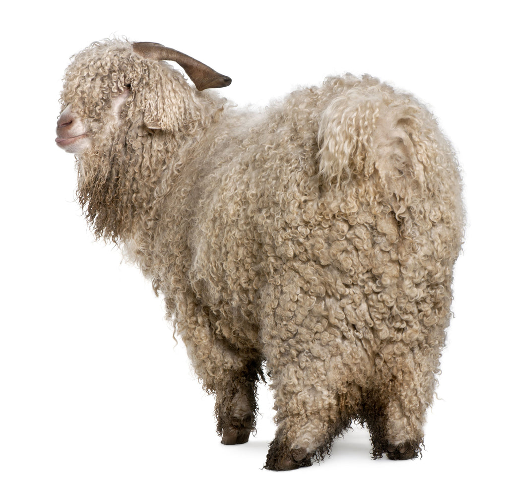 A little Merino Wool History!
