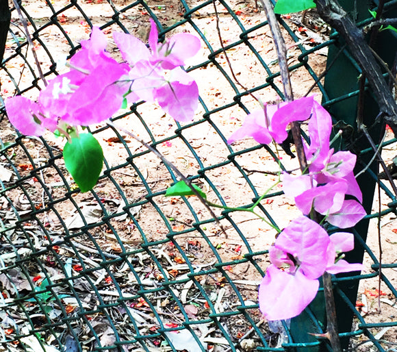 pink against chain link