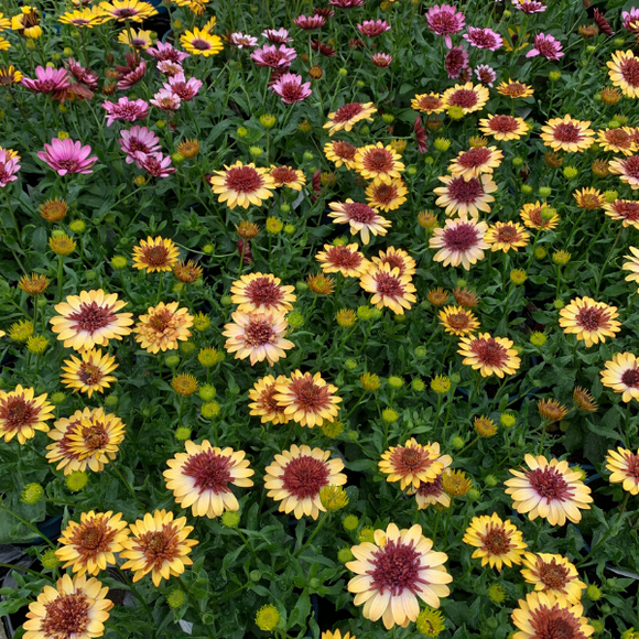 Osteospermum Mixed Colour