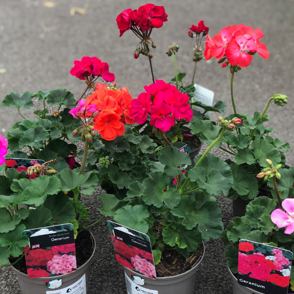 Geranium Assorted 1 ltr Pot