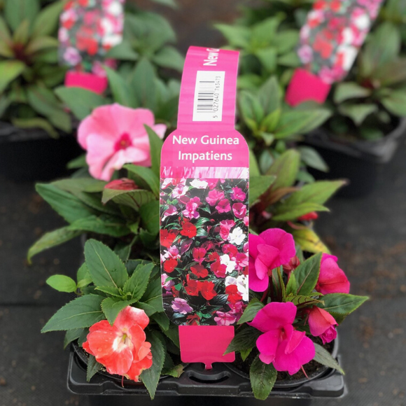 New Guinea Impatiens Collection