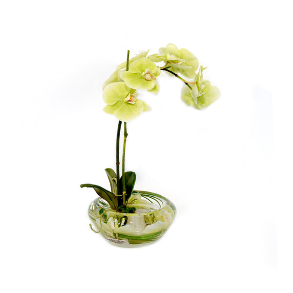 Green Phalaenopsis Plant in Small Bloom Bowl