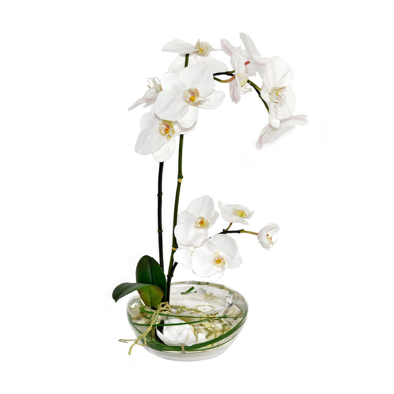 White Phalaenopsis Plant in Small Bloom Bowl