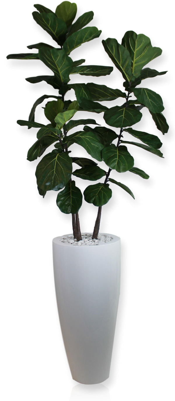Brazilian Fiddle Fig Tree in White Vase (Ref#7810)