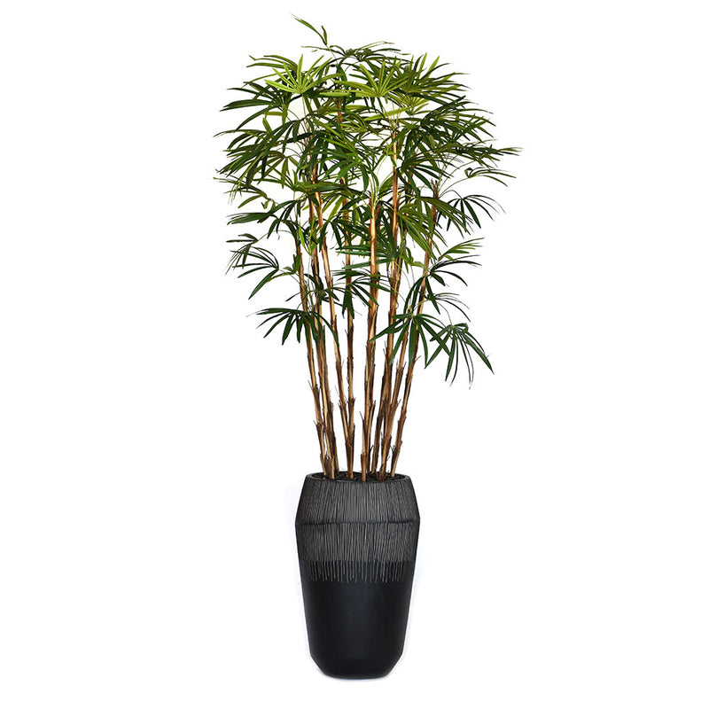 Finger Palm Tree in Dark Grey Container