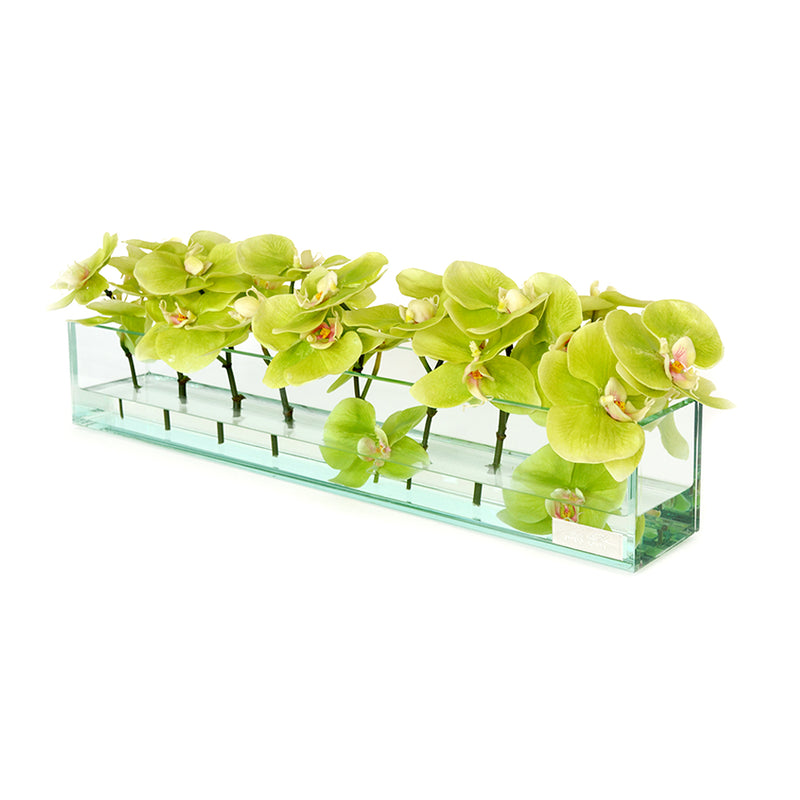 "Green Phalaenopsis in Glass Plate Vase • 3 sizes (12"", 24"" & 48""L)"