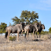 Trophy Blue Wildebeest Hunt ($5,900)