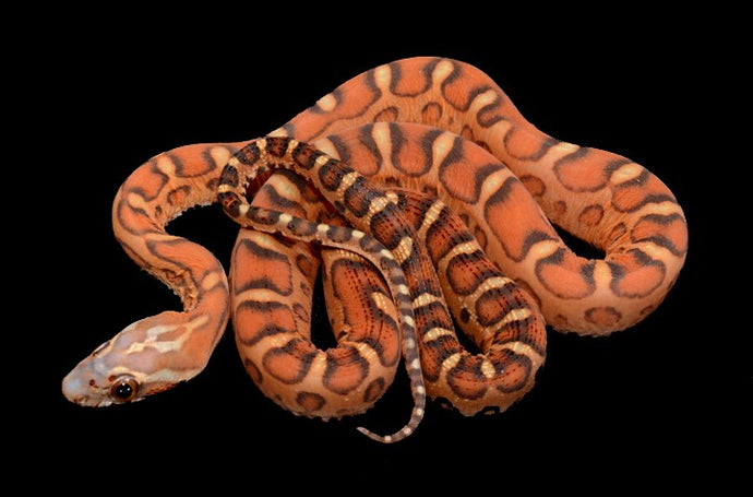 Story of the Scaleless Corn Snake