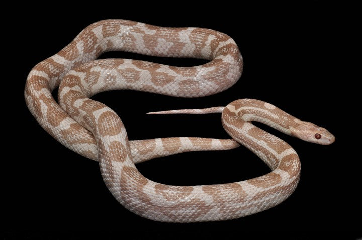moonstone corn snake photo