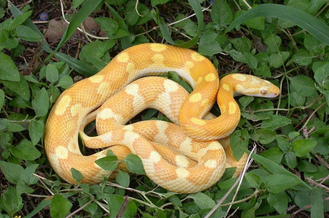 motley butter corn snake photo