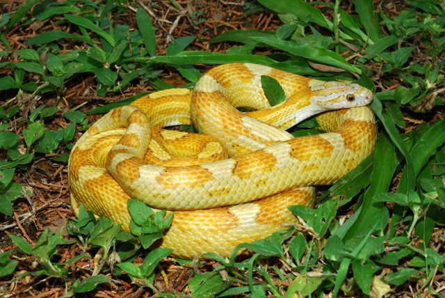 motley gold dust corn snake photo