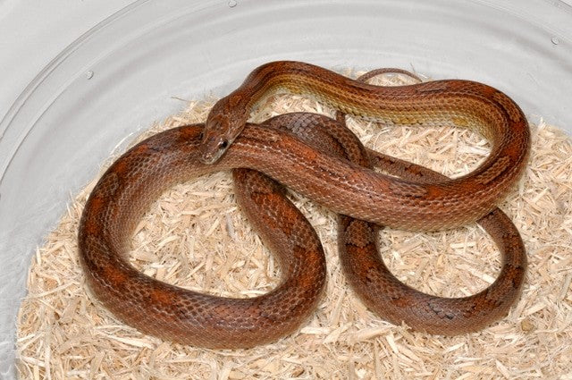 motley java corn snake photo