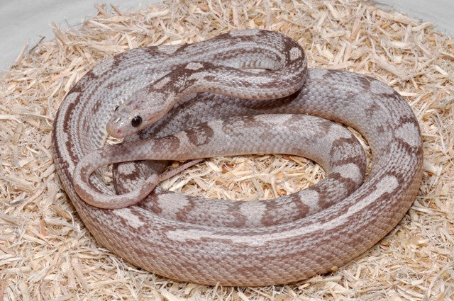 motley lavender corn snake photo