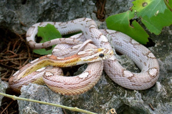 motley pastel corn snake photo