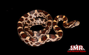 "Het Bloodred Corn Snake 16"" Male"