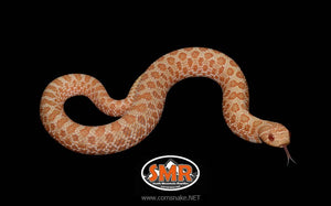 "Western Hognose Albino 9"" Female - South Mountain Reptiles"