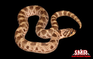 "Anaconda 15"" male Hognose"