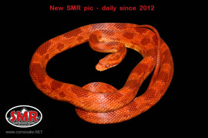 "Cherry Amel 28"" Male Corn Snake - South Mountain Reptiles"