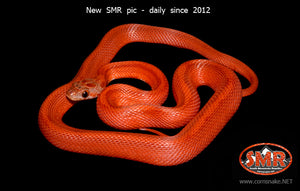 "Striped Bloodred 18"" female - South Mountain Reptiles"