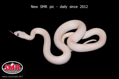 Leucistic Gray-banded Kingsnake - South Mountain Reptiles