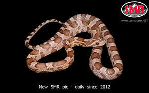 "Ghost 18"" male - South Mountain Reptiles"
