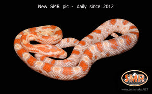 "Creamsicle Okeetee 16"" male - South Mountain Reptiles"