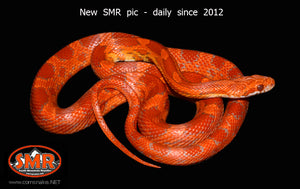 "Red Coat Lava 26"" male - South Mountain Reptiles"