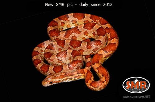 Het Striped Butter Cornsnake 27