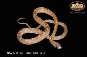 "Key Caramel Bloodred 16"" Male - South Mountain Reptiles"
