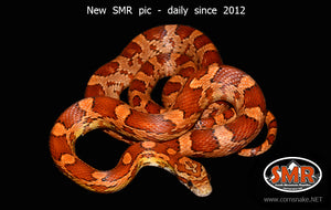 "Het Cornsnake 27"" female - South Mountain Reptiles"