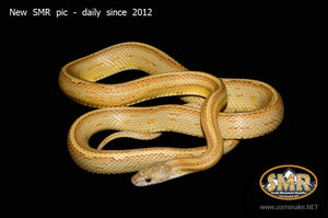"Honey Tessera 32"" Male - South Mountain Reptiles"