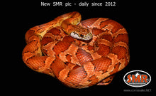 "Load image into Gallery viewer, Sunkissed 31"" female - South Mountain Reptiles"